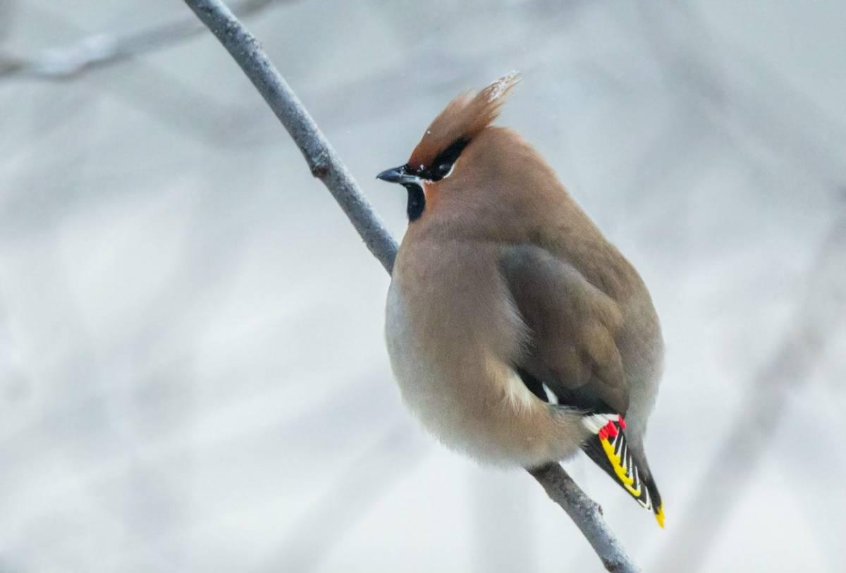 птица свиристель фото и описание специфический серый окрас