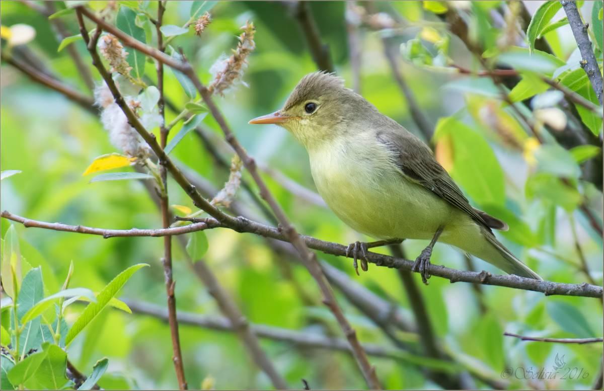 насколько могут птицы фото зеленая пересмешка тяжелее всего