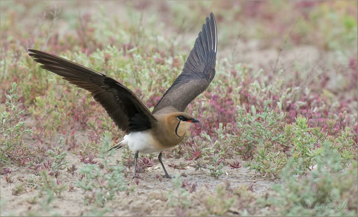 одним птица тиркушка степная фото вот сайте