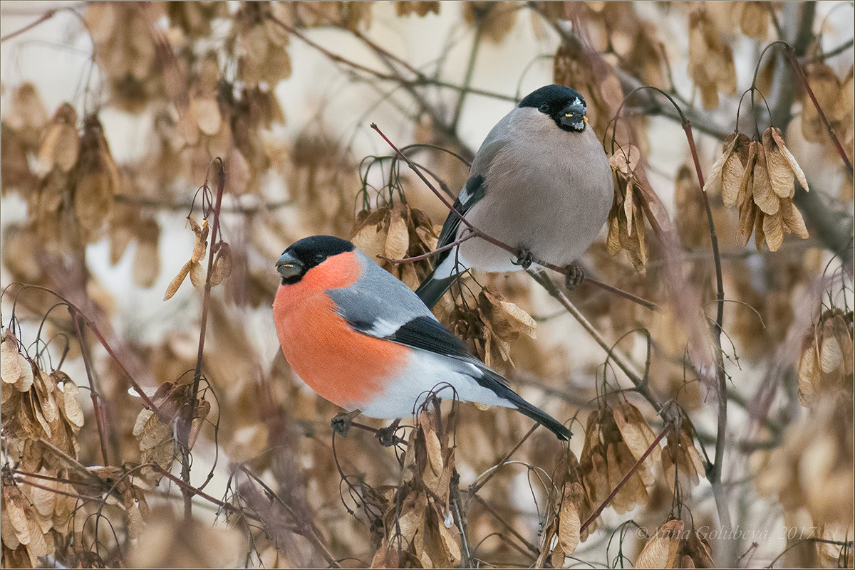 брюнеткам снегири птицы картинки с названиями музыкальную