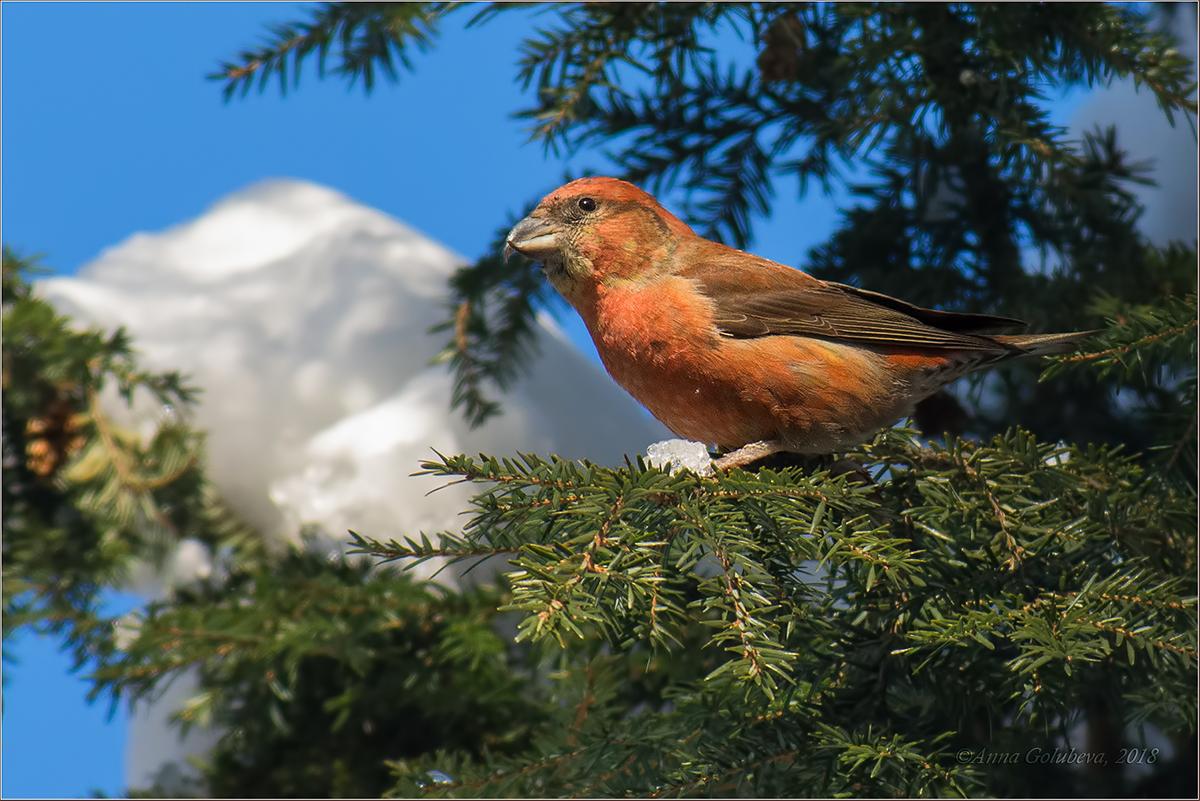 полезные клест фото птицы зимой картинка молодые родители еще