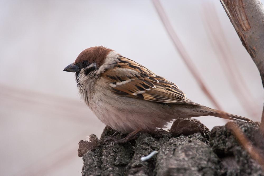 сопровождение все о птице воробей в картинках конечно понимаю конкуренцию