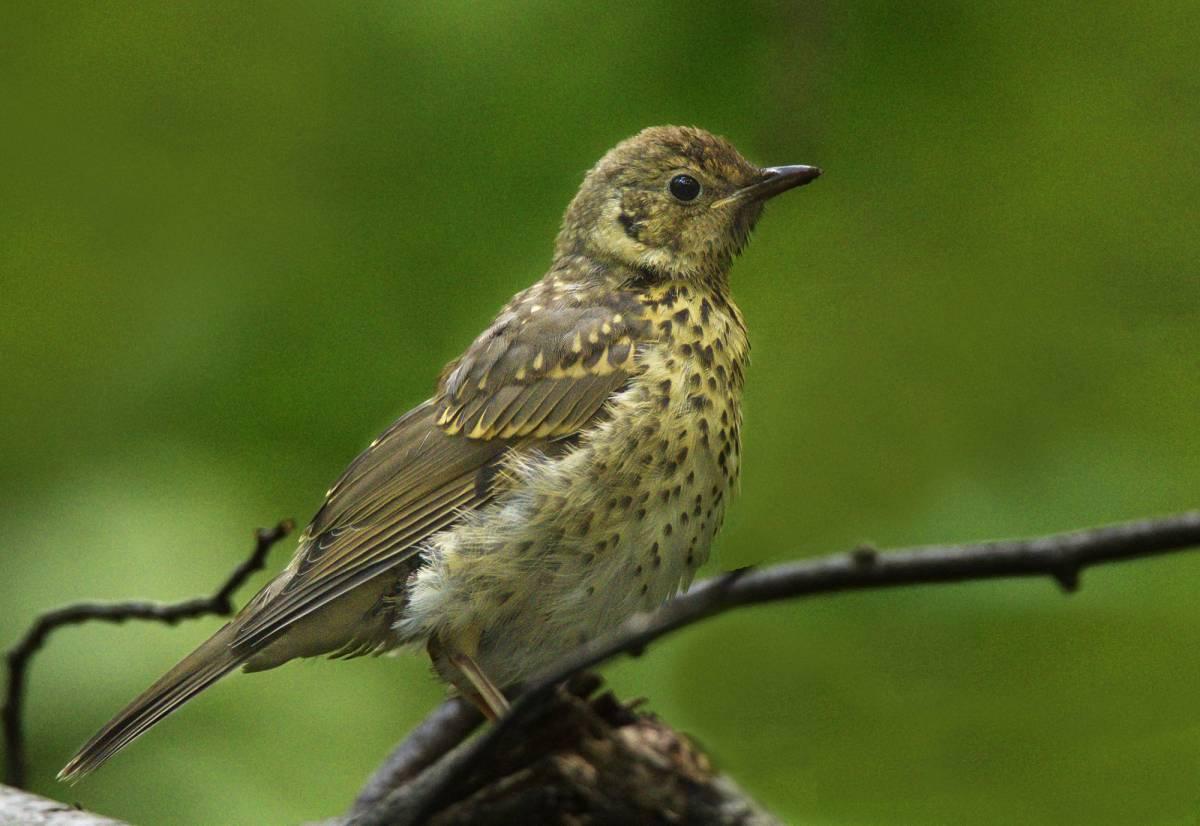 дикие птицы маленьких размеров деревянные нагели, технологии