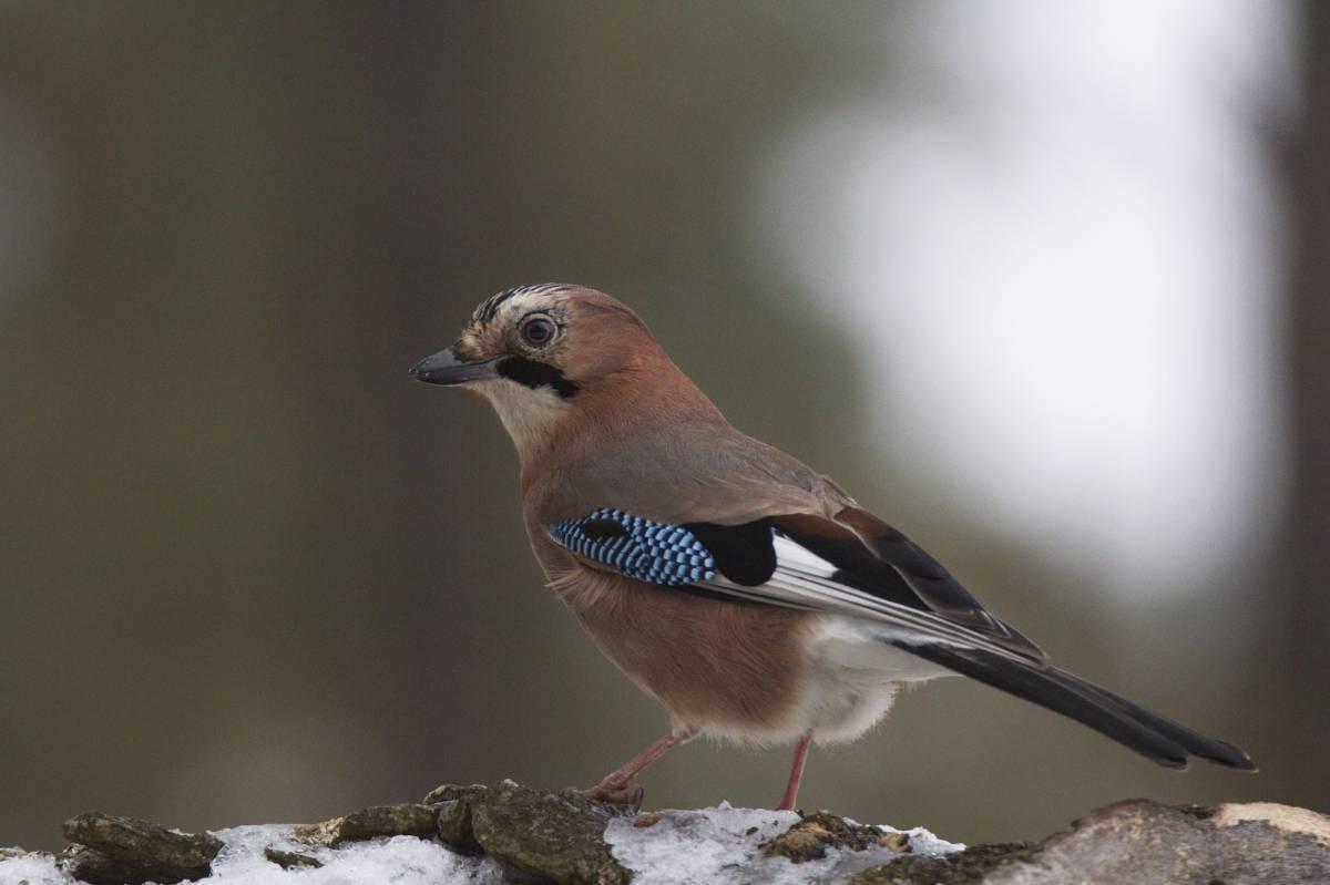 задача птицы мордовии фото с названиями популярностью среди