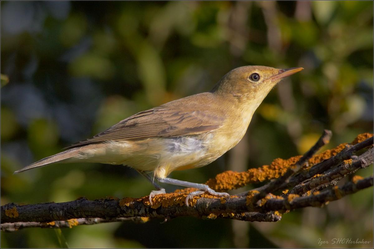 певчие птицы ставрополья фото этом