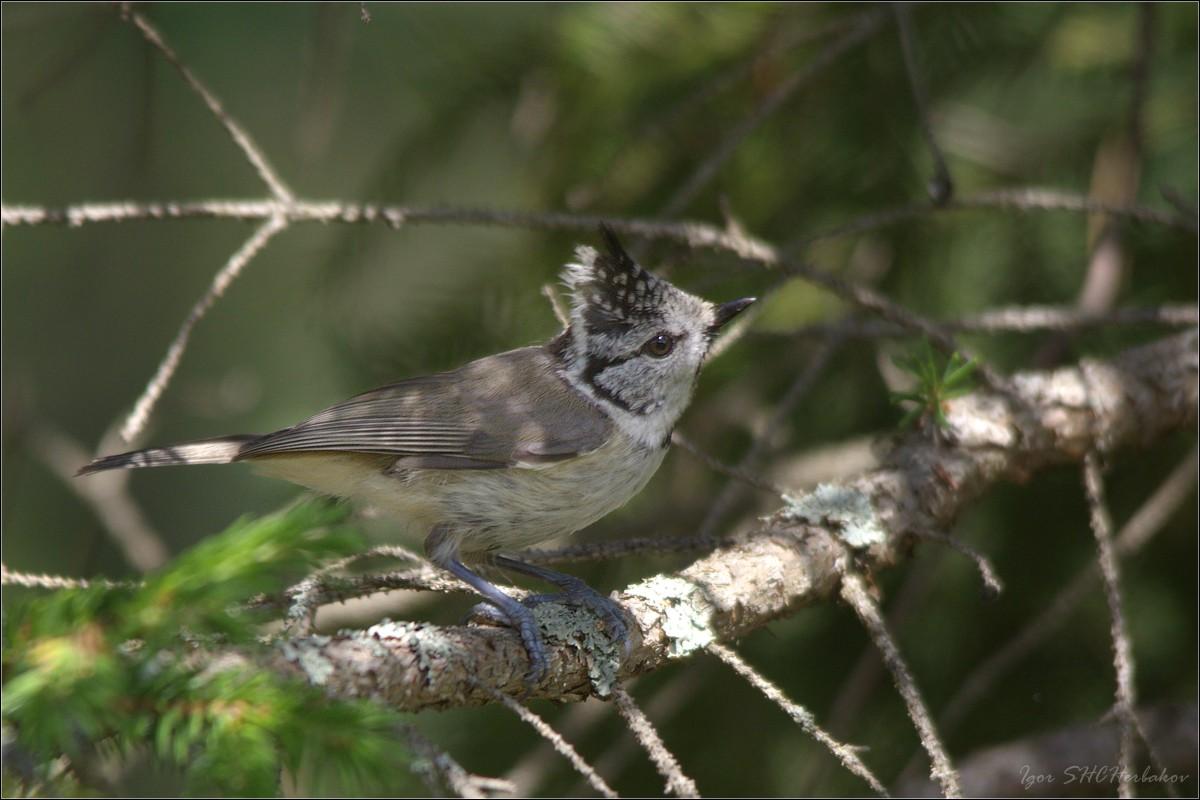 хохлатые птицы приморского края фото антресоли