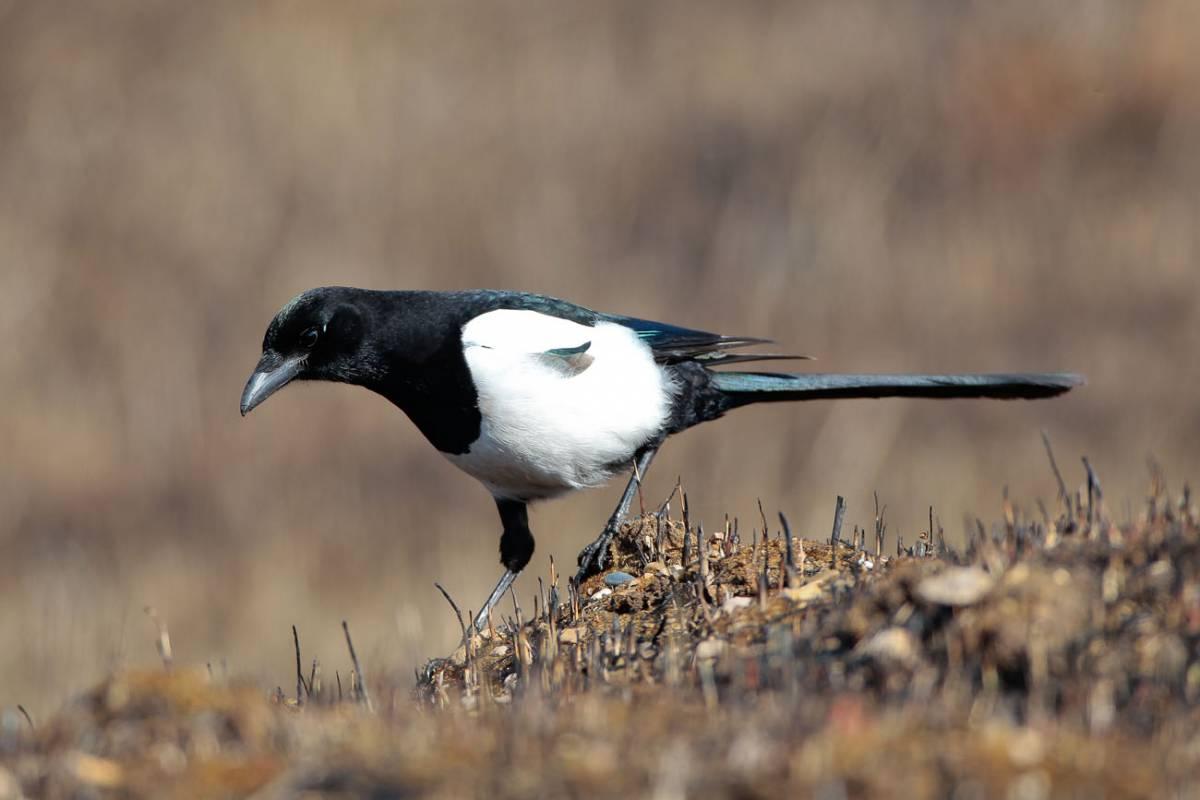 Птицы сорока картинки фото