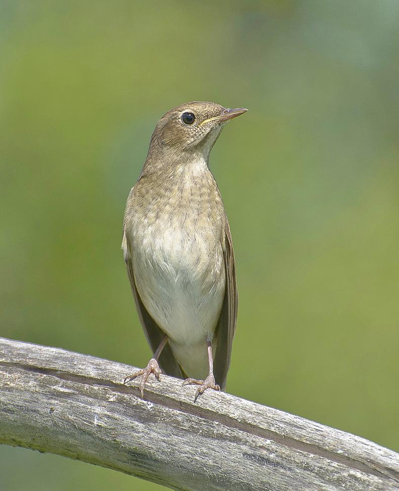 Фото соловьев птиц