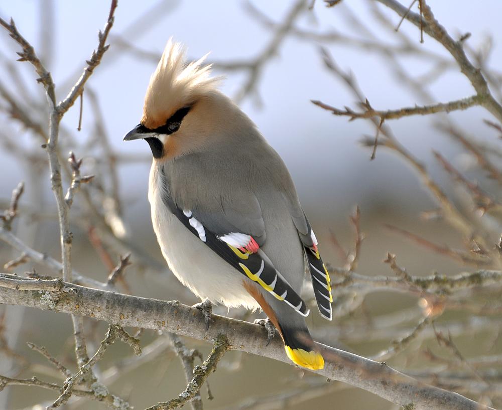 Птицы с хохолком картинки с названиями
