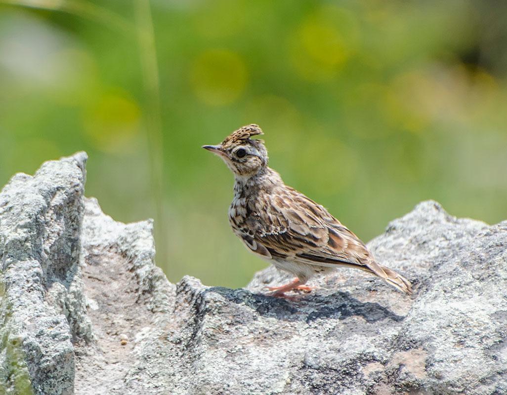 Лесной жаворонок фото птицы