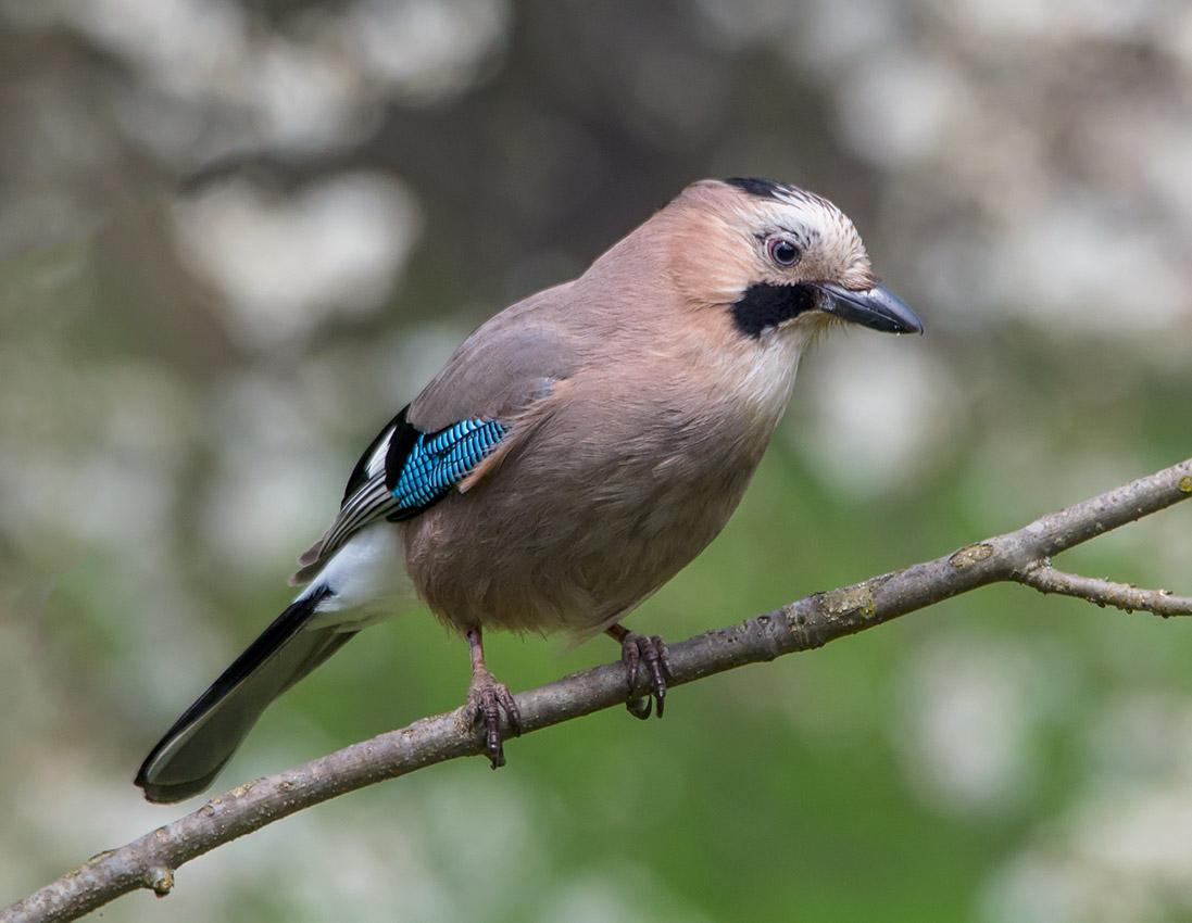 птица сойка пересмешница фото и описание простое