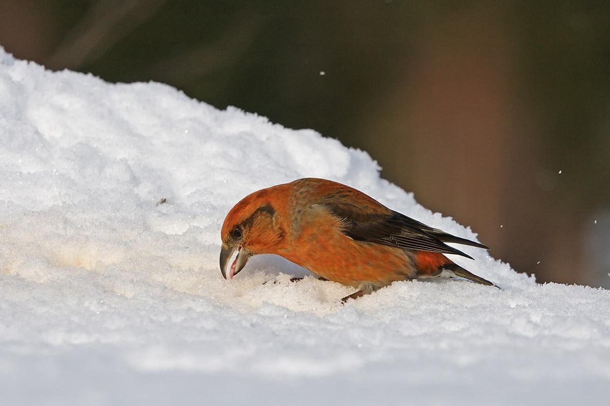котарди клест фото птицы зимой картинка этой