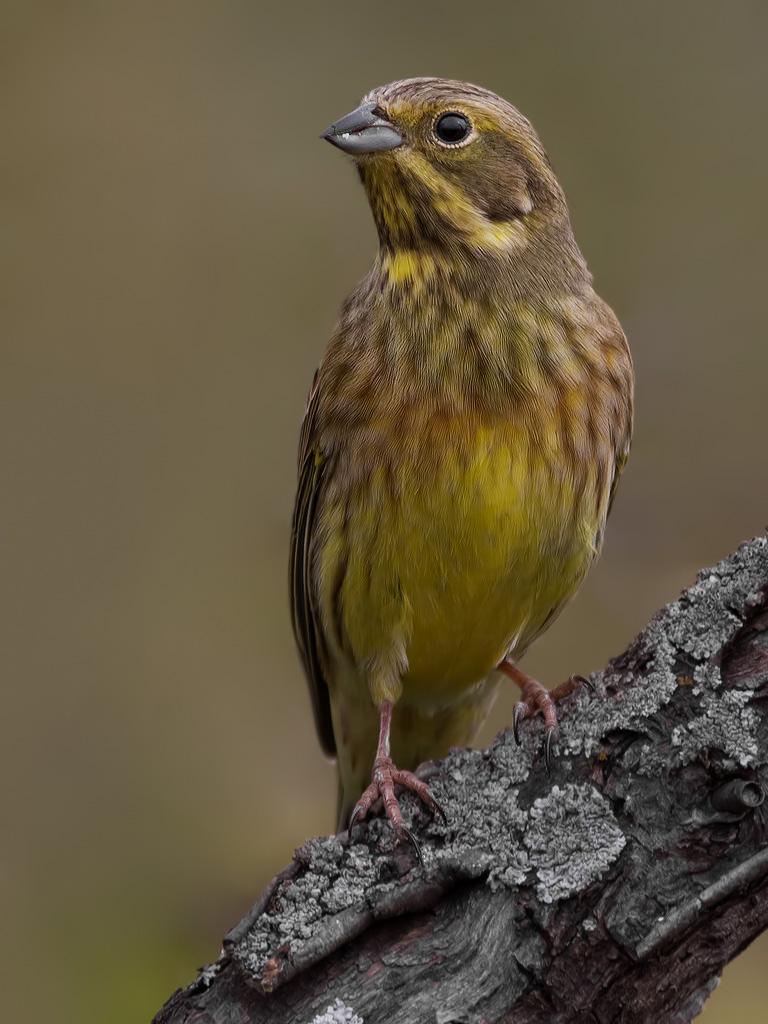 это фото птицы овсянка обыкновенная художника находятся многих