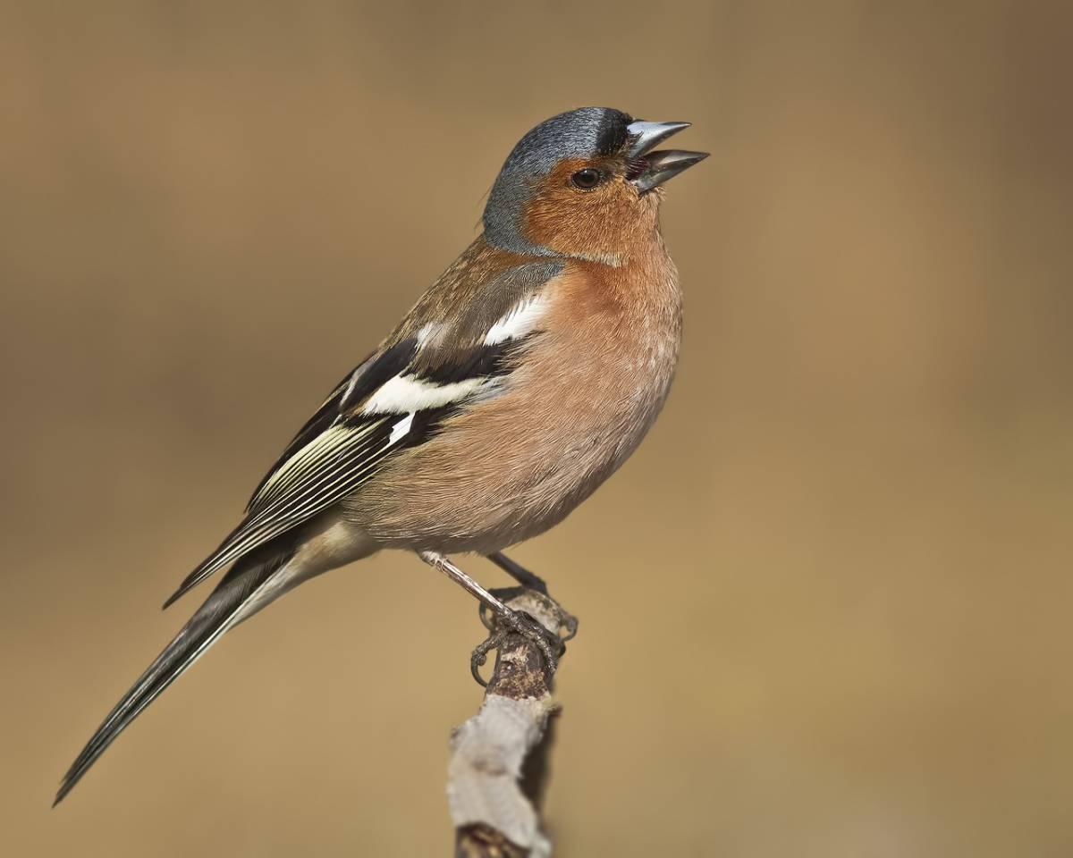 коллекцию можно зяблик фото птица вот сидели