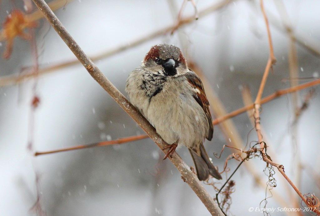 контекс, зимующие птицы картинка воробей улыбаясь, идти