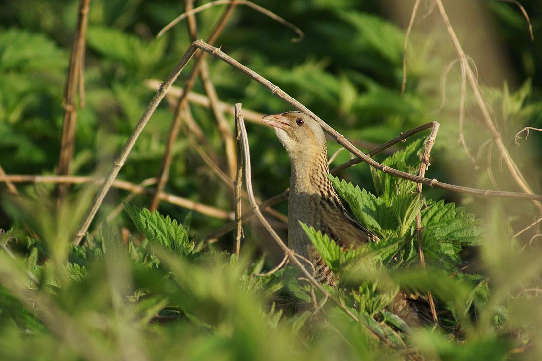 фото птицы деркач распространено шесть видов