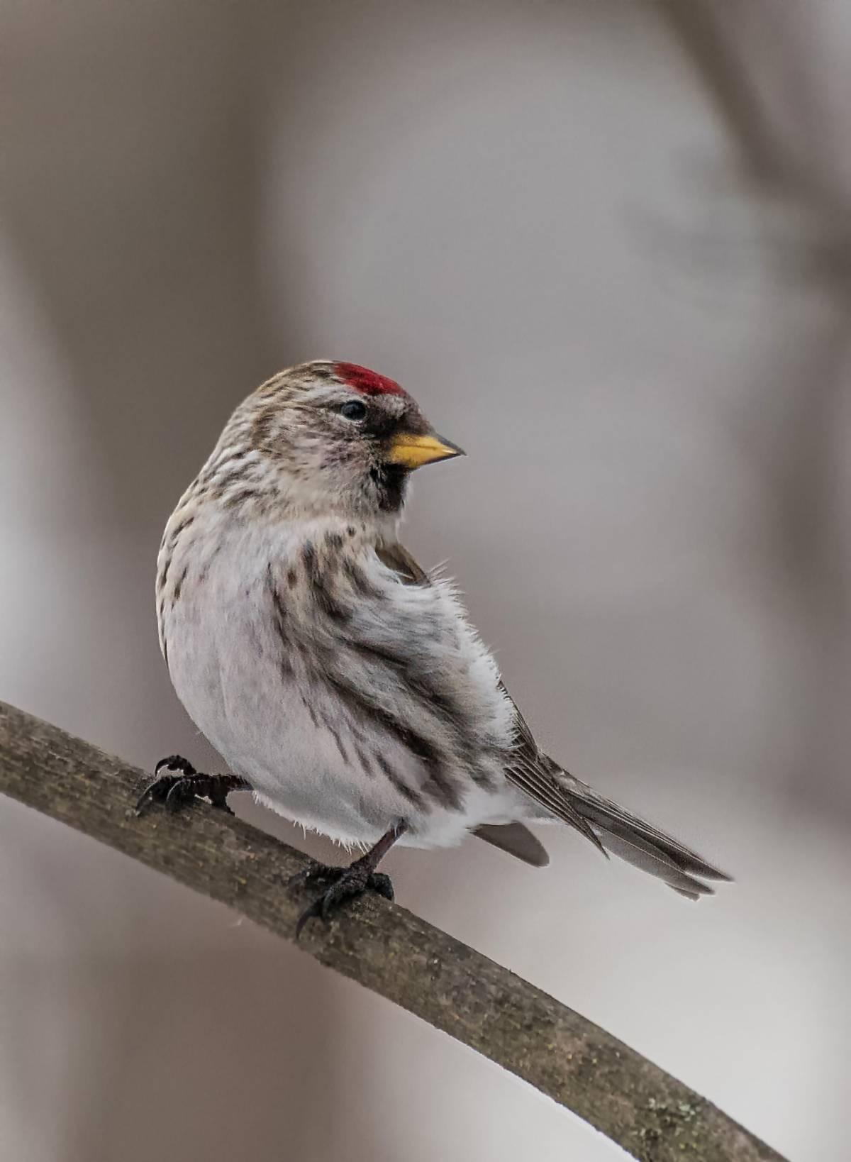 Картинки птички чечетки