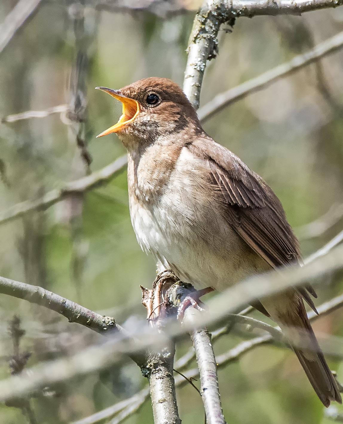 Картинка птички соловья