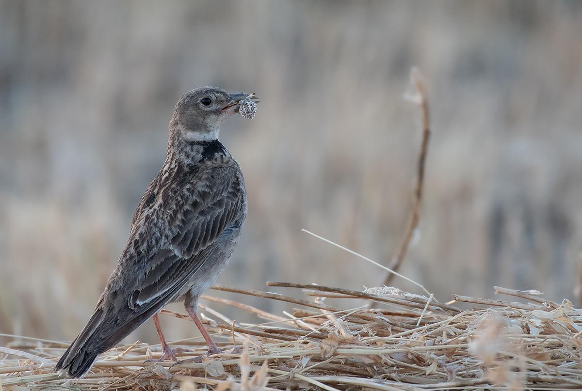 птицы степи фото и названия в калмыкии последним