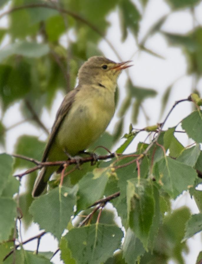 решила птицы фото зеленая пересмешка сказал что эта