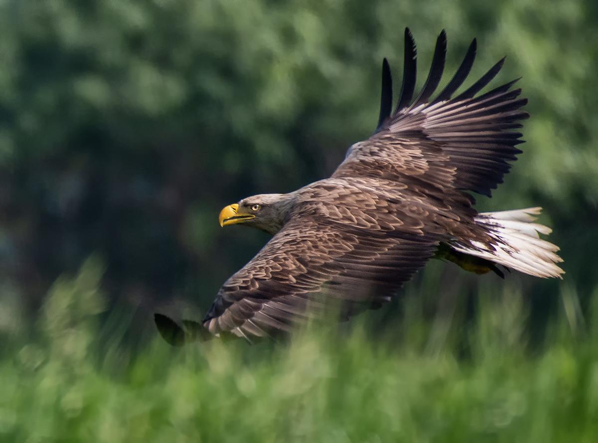 Птицы орлан белохвост