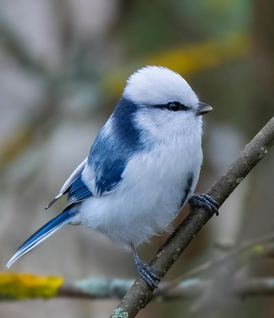 Птичка лазаревка картинка
