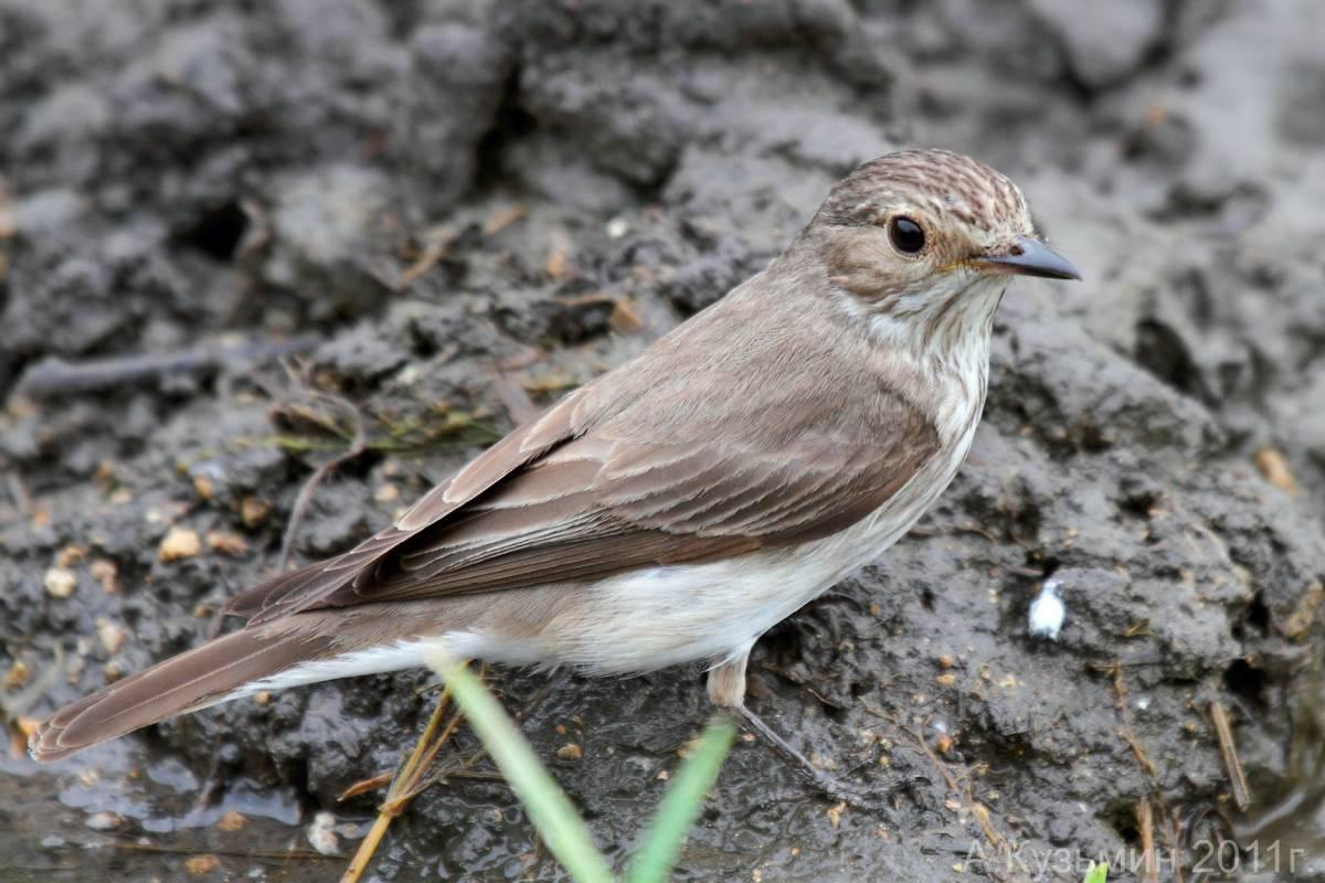 птицы похожие на воробья фото и названия