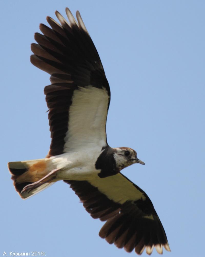 Чибис (Vanellus vanellus)