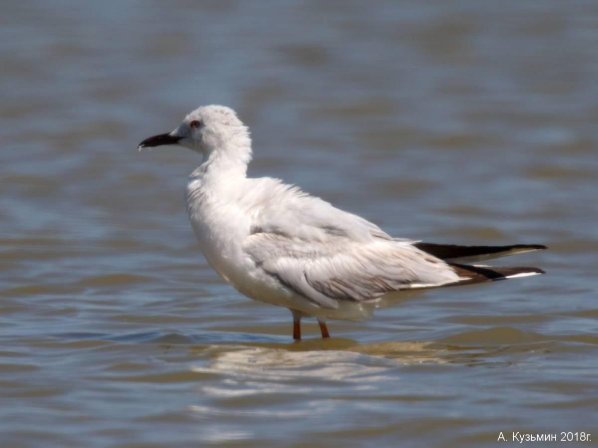 Морской голубок (Larus genei)
