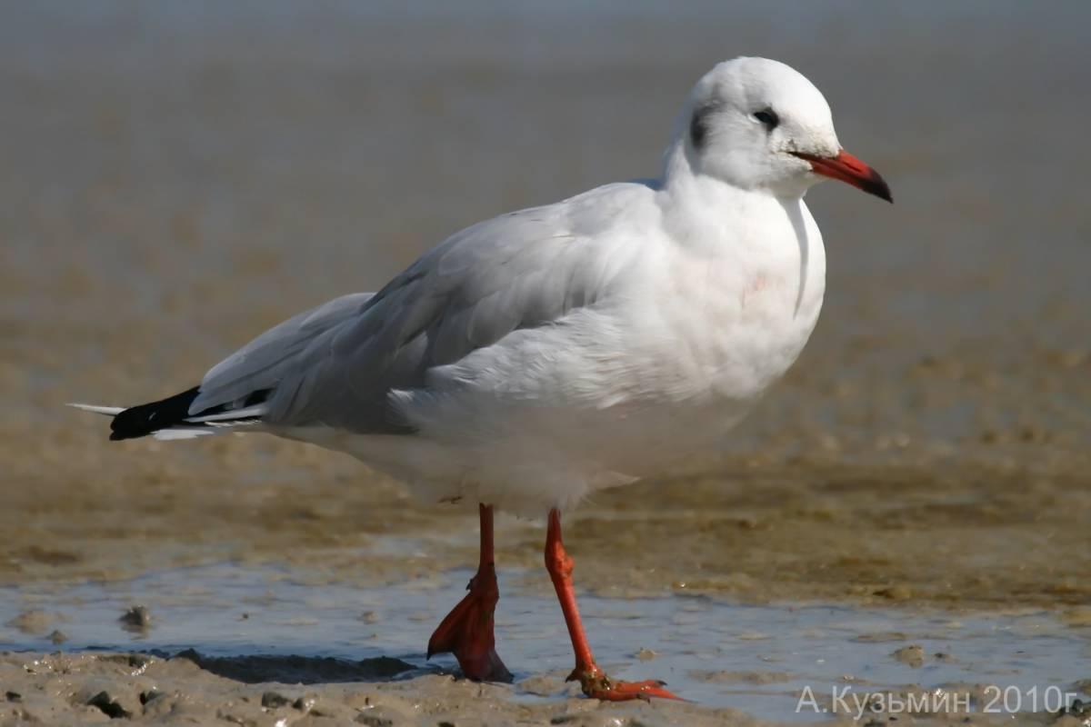 Птичка мартын картинки