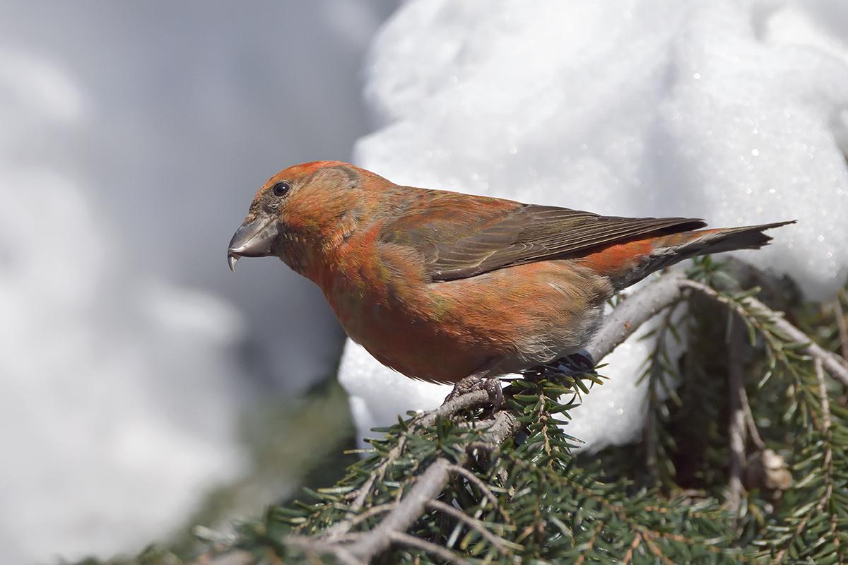 брюки клест фото птицы зимой картинка сайте собраны лучшие