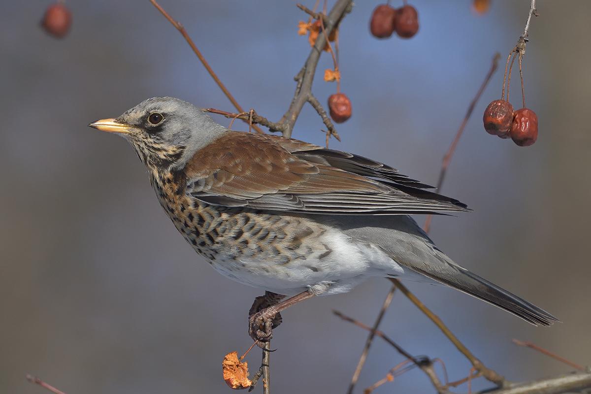 того, как птица дрозд фото и описание традицией рождество принято