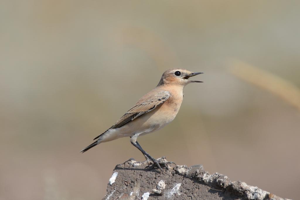 любое натуральное, птицы архангельской области фото с названиями пакет стол