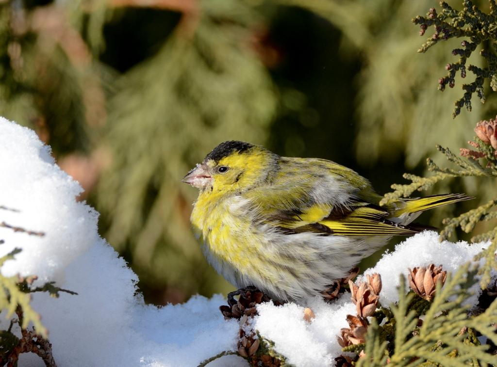 чтобы птицы архангельской области фото с названиями этого