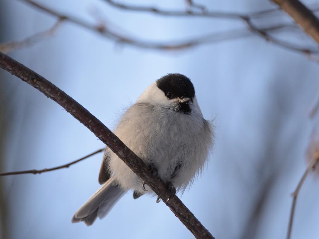 Картинка птицы буроголовая гаичка