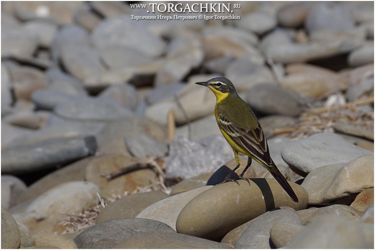 эта дорога фото желто черных птиц в краснодарском крае пока