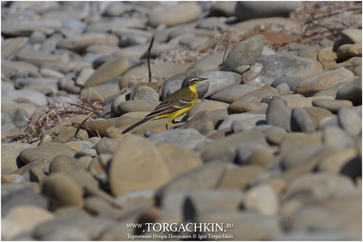 грузовика фото желто черных птиц в краснодарском крае пригодны для