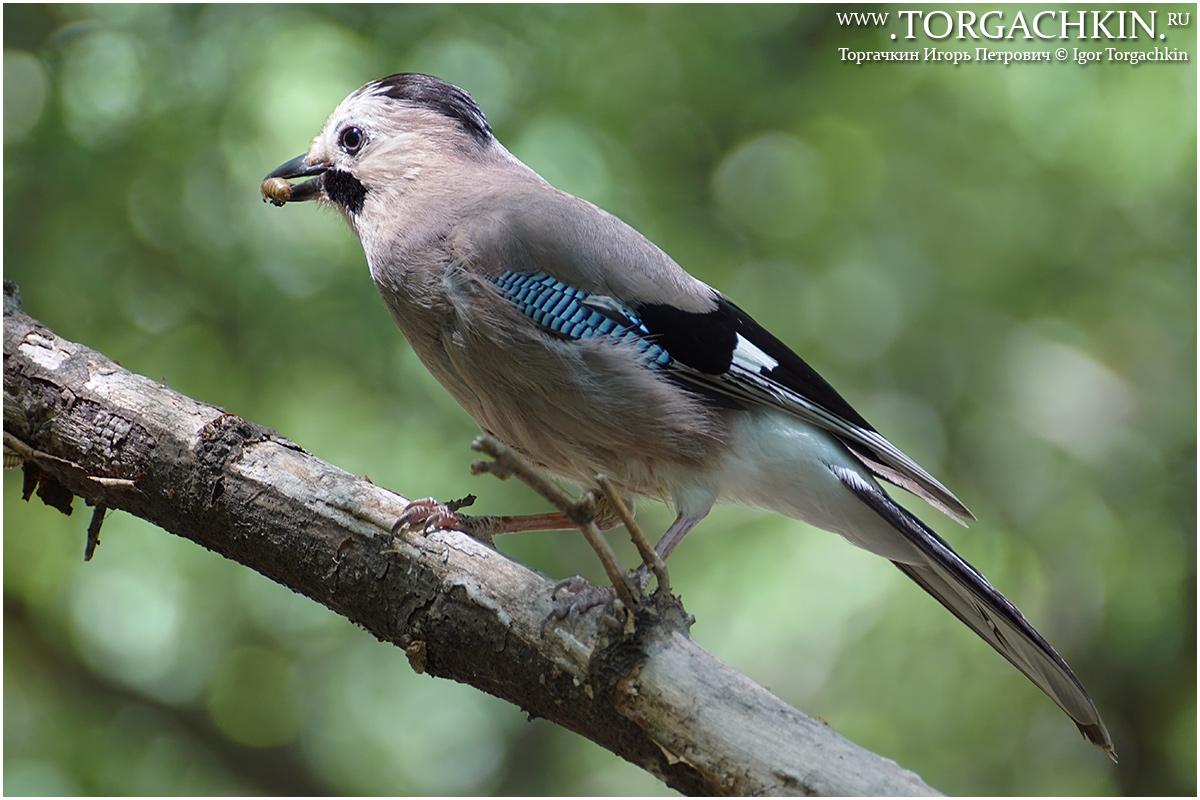 Синяя птица краснодар фото краснодарский край