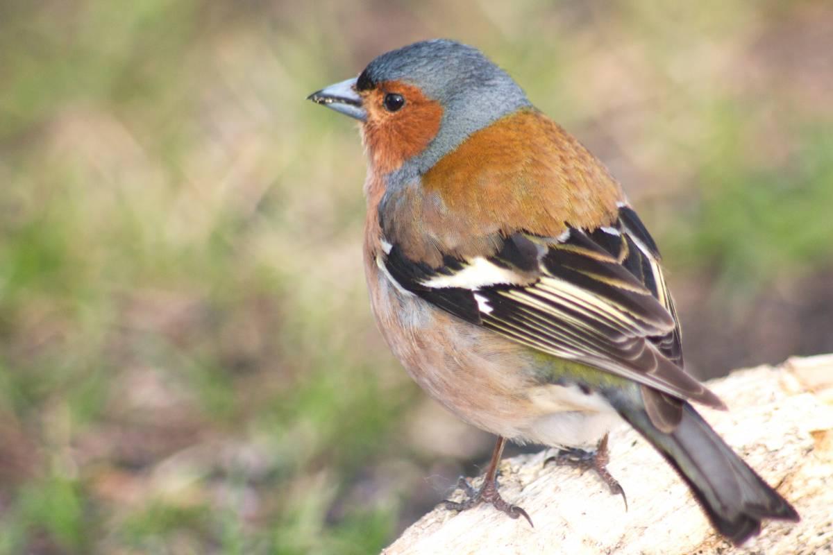 купюрницы зяблик фото птица обычаи, природа