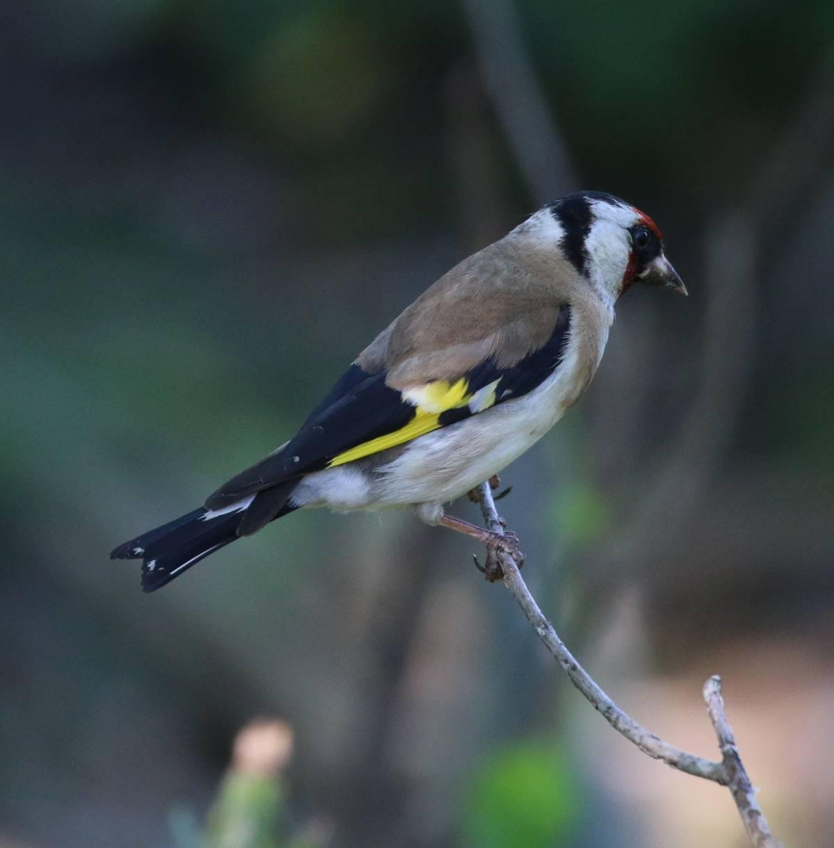 Как выглядит птица щегол фото