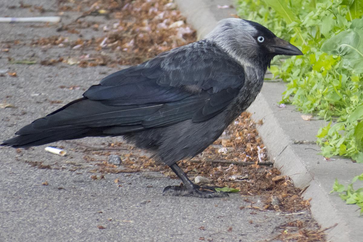 нас картинки голубей ворон воробьев черном цвете