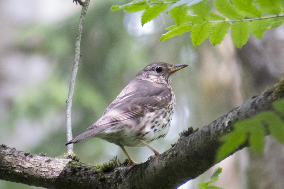 Певчие птицы ставрополья фото