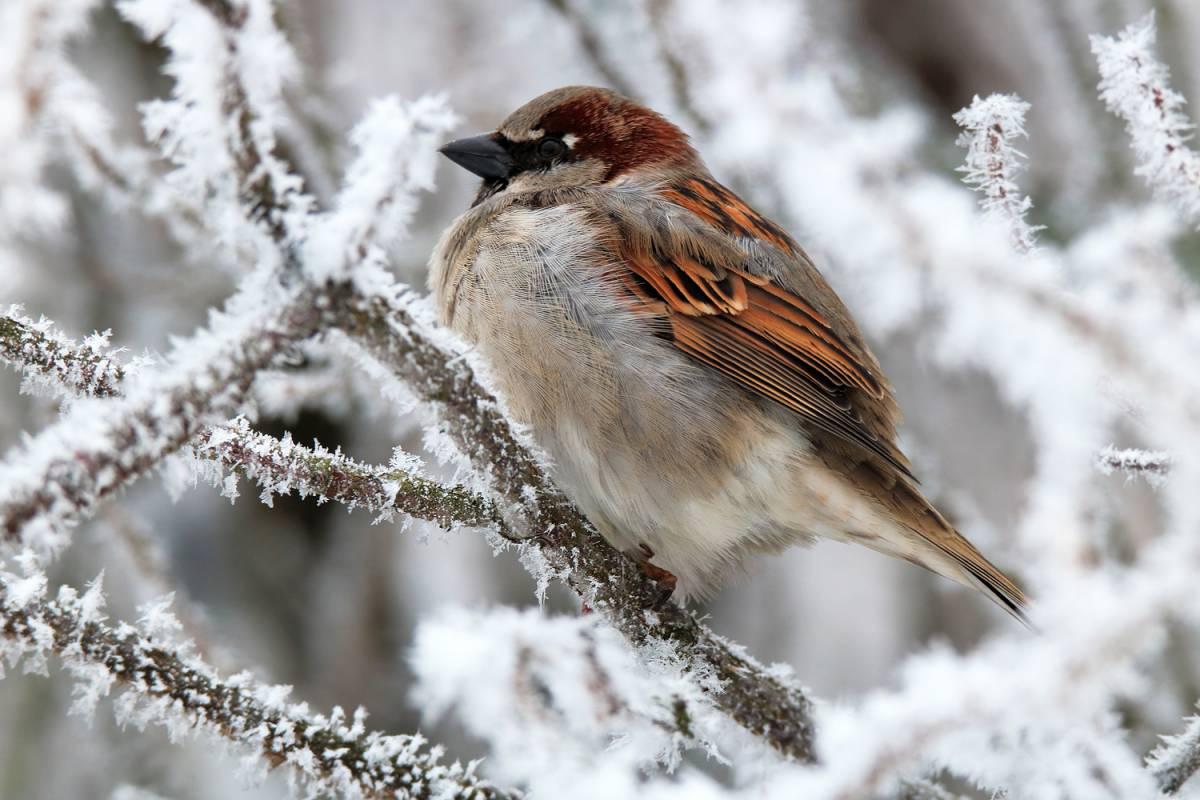 че-то зимующие птицы картинка воробей тому