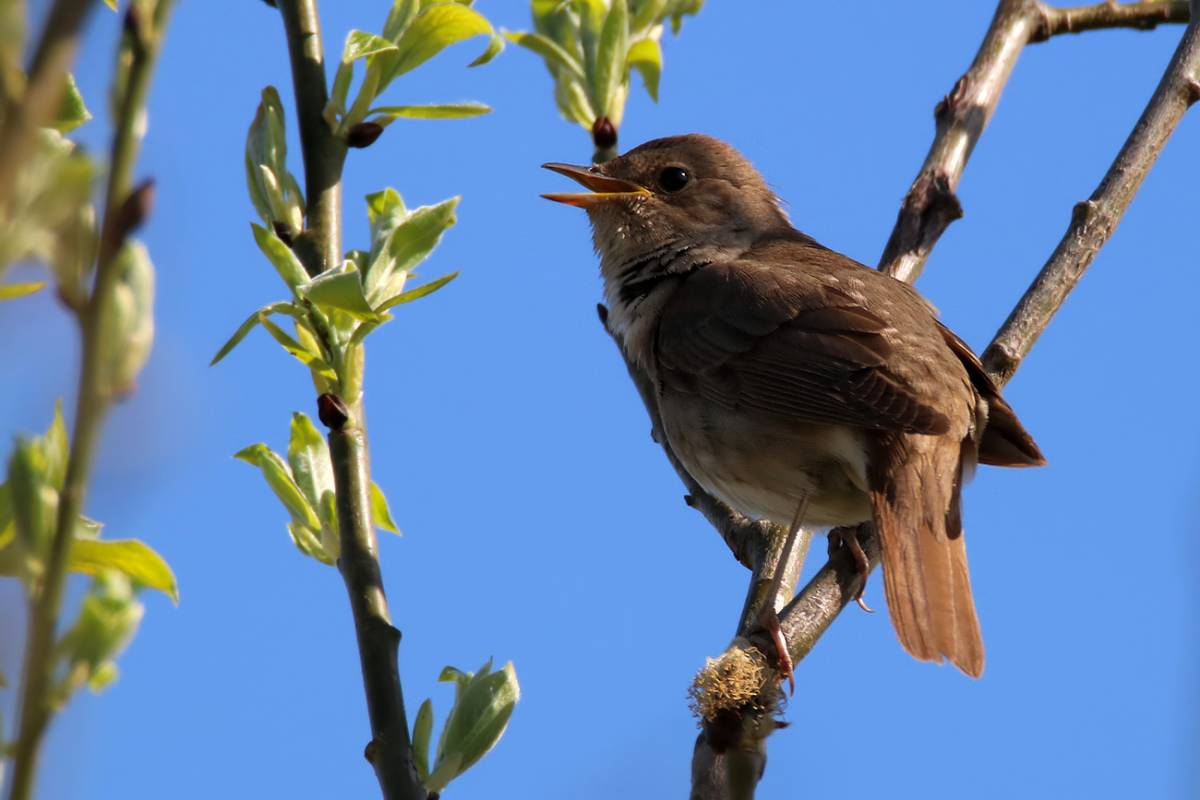 фото соловья птицы теней происходит немного