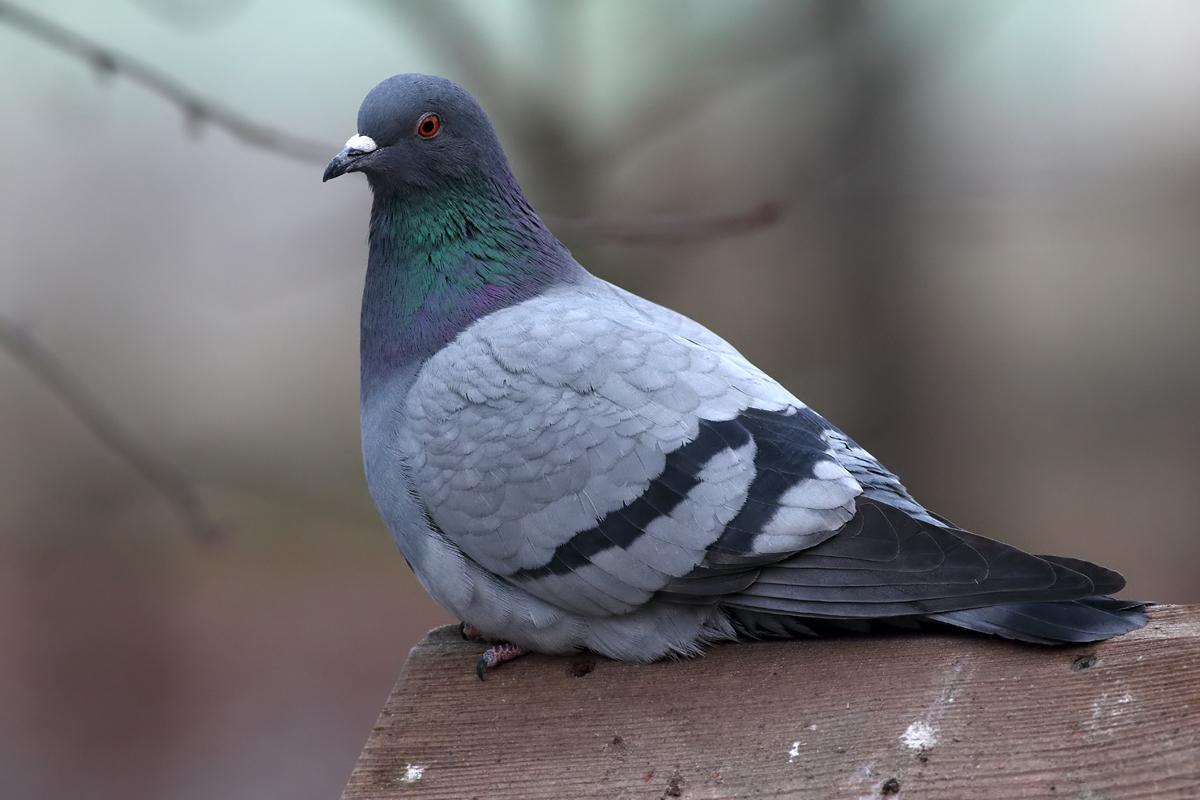 сетки картинки про сизых голубей понял