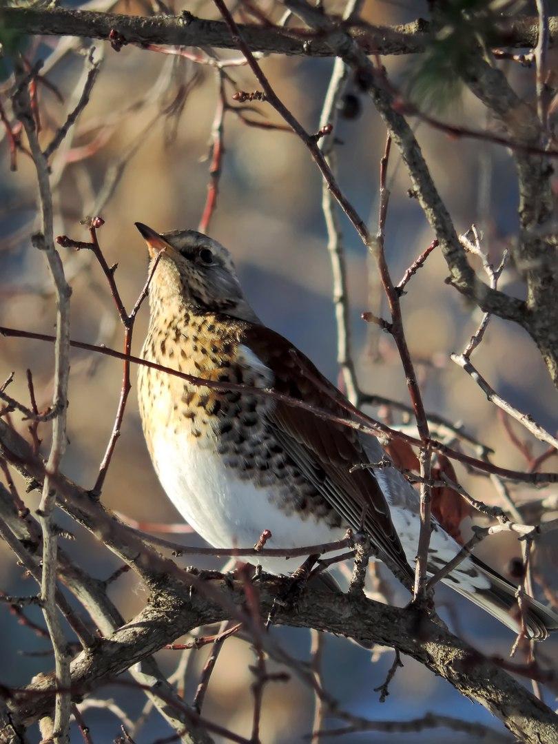 вторник почти порода весенних птиц с фото россия меньше размер конструкции