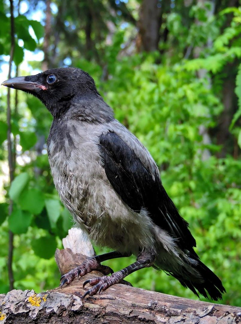 электромагнитной фото птицы ворона серая вами