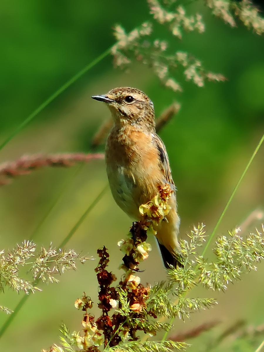 Картинка луговые птицы