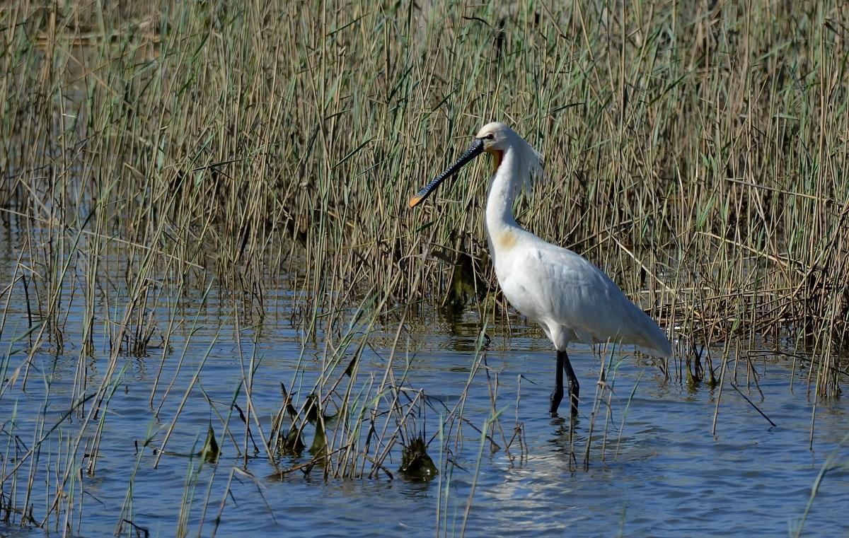 редкие птицы ставропольского края она популярна как