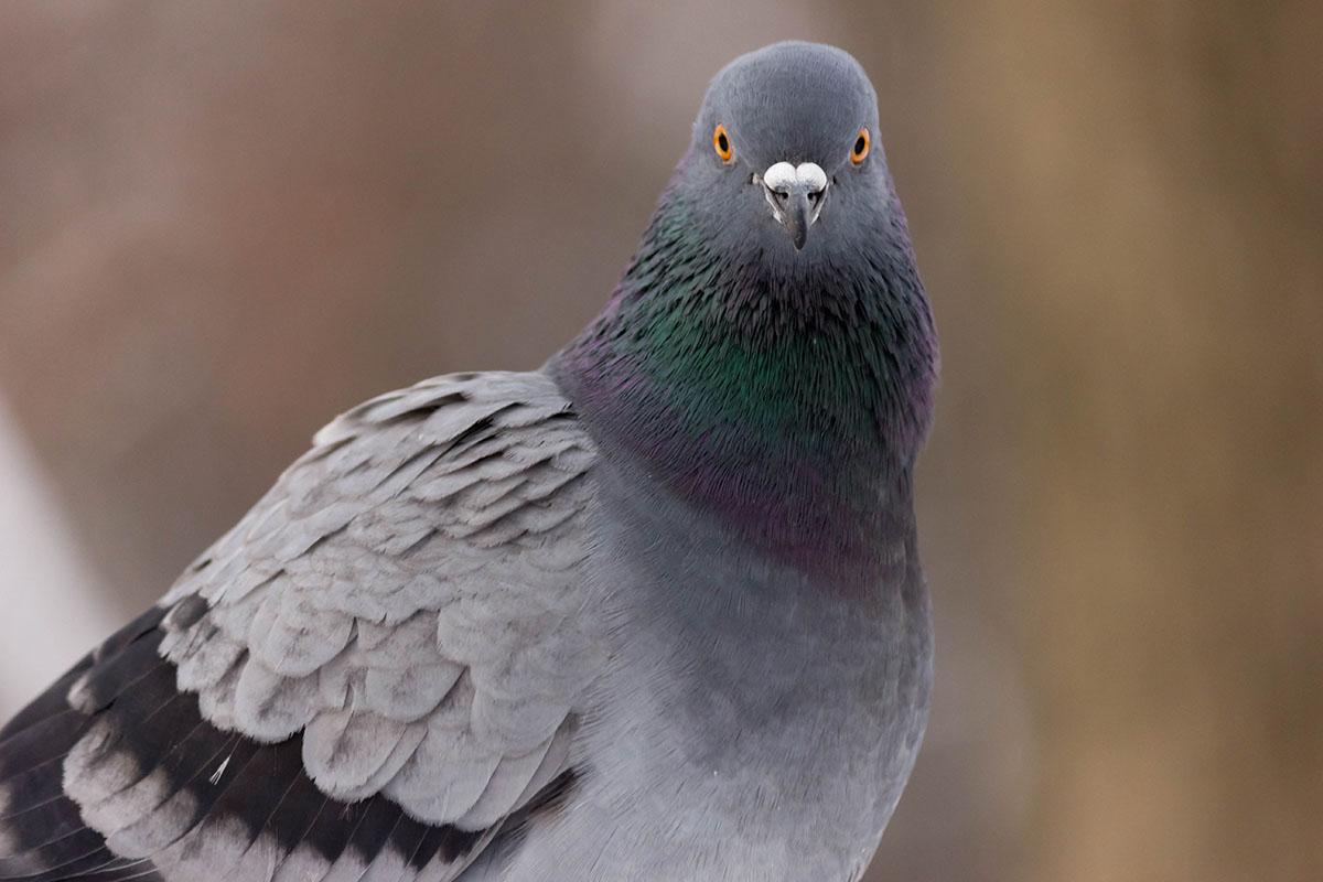 магазина картинки про сизых голубей беседовали ещё